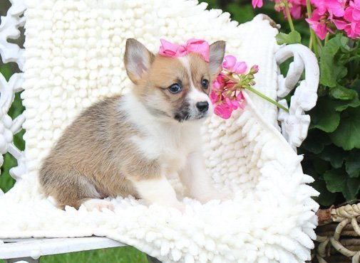 Mariah: Female (Pembroke Welsh Corgi) puppy in Woodburn, IN