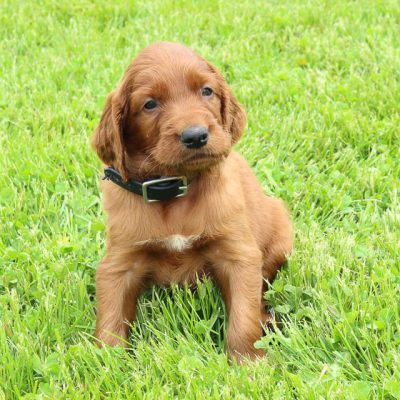 Ranger: AKC Male Irish Setter puppy for sale [Shipshewana, IN]