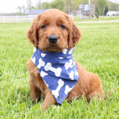 Rodney: Male AKC Irish Setter puppy for sale in Shipshewana, IN