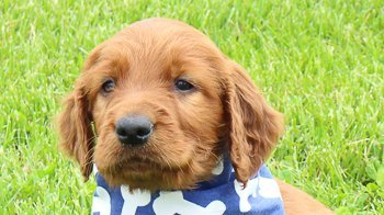 Rocky: Male AKC Irish Setter puppy for sale [Indiana]