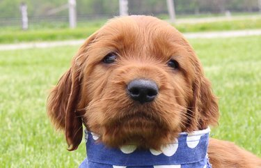 Rusty: Male AKC Irish Setter for sale [Shipshewana, IN]