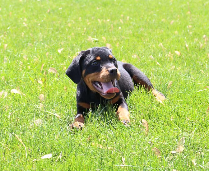 Cindy - female AKC Rottweiler puppy for sale in Indiana