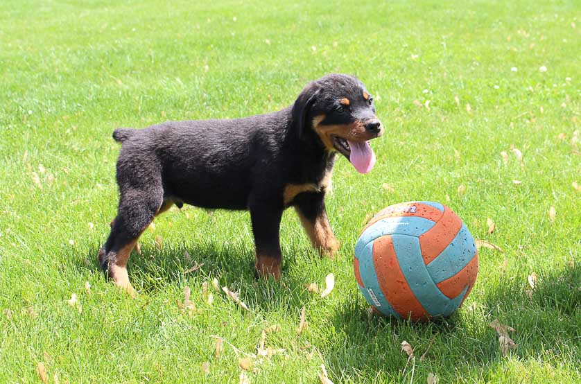 Korie: Male AKC Rottweiler puppy for sale [Woodburn, Indiana]