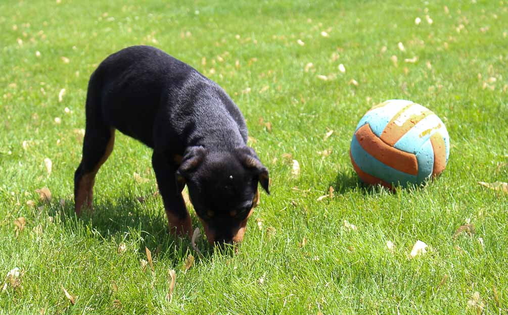 Susie - female AKC Rottweiler puppy for sale in Woodburn, IN