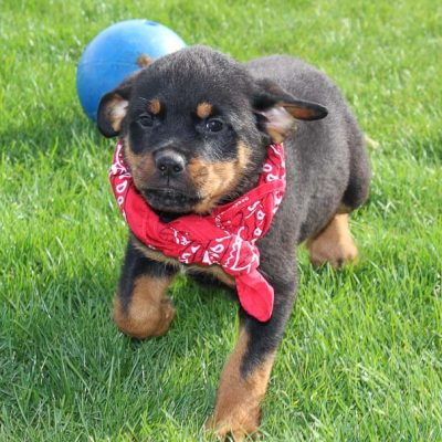 Sally: Female AKC Rottweiler for sale (Woodburn, IN)