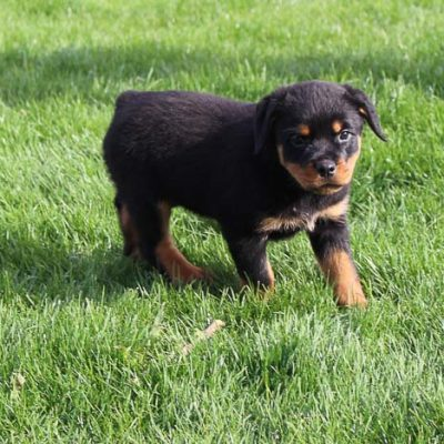 Sandy: Female AKC Rottweiler puppy for sale (Woodburn, IN)