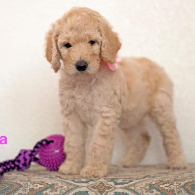 Luna: Female [Poodle puppy] for sale in Gilbert, Arizona
