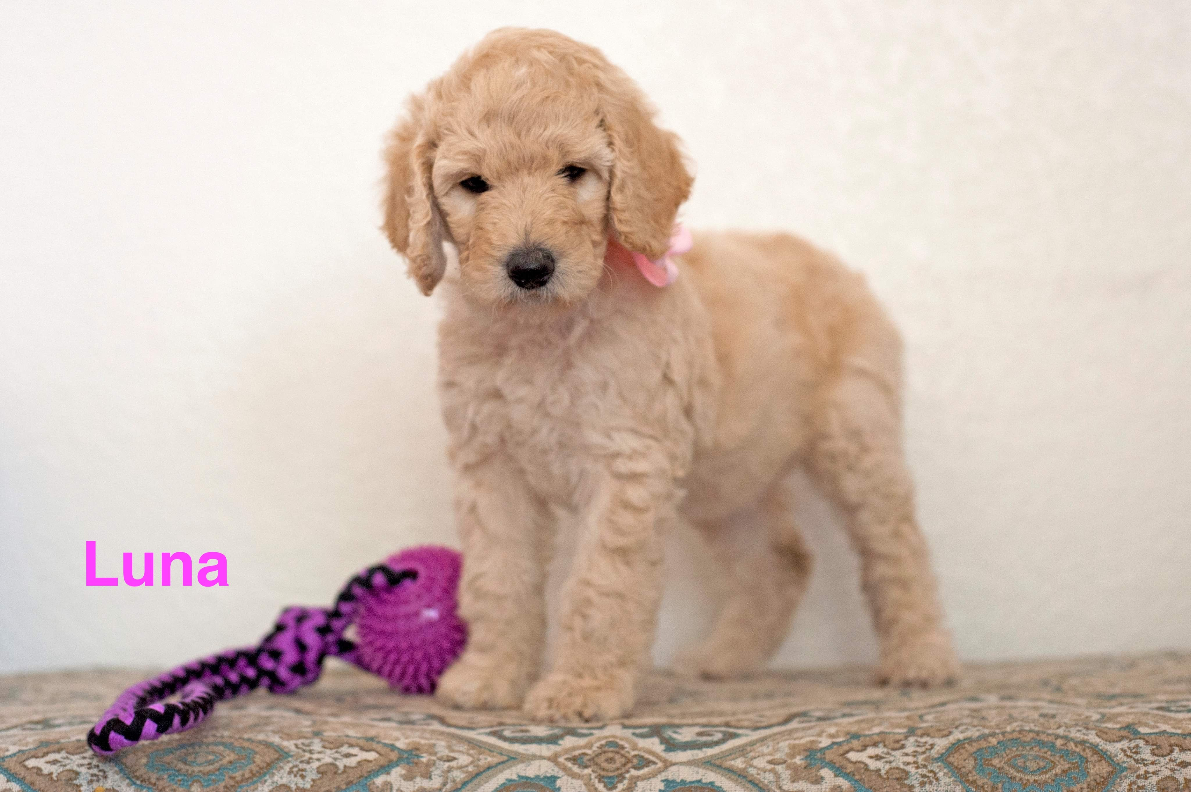 Luna Female Poodle Puppy For Sale In Gilbert Arizona