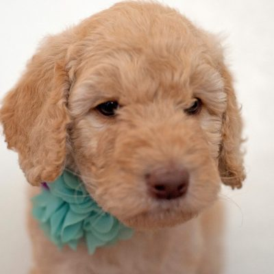 Rex: Male [Poodle] in Gilbert, Arizona for sale