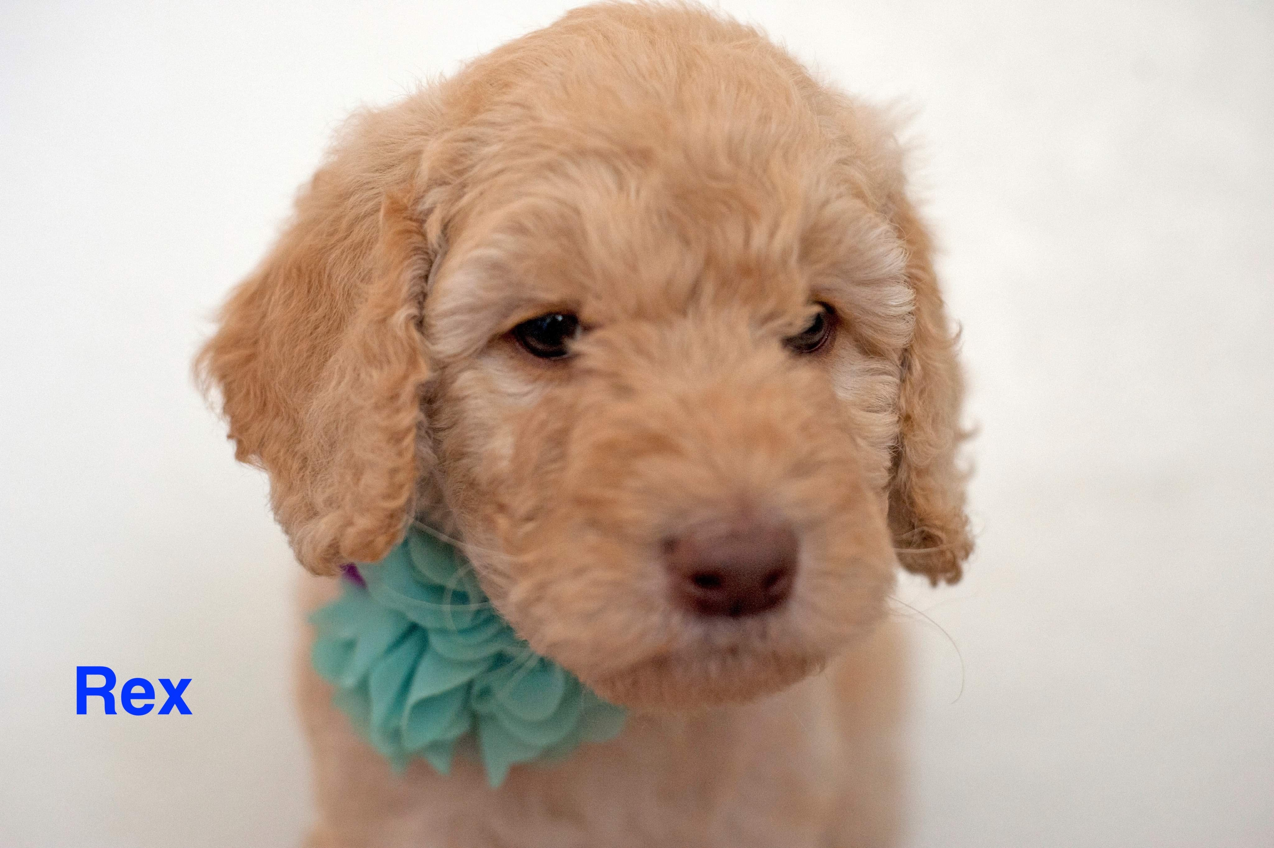 Rex Male Poodle In Gilbert Arizona For Sale
