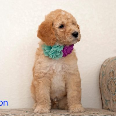 Sanson: Male [Poodle] puppy for sale in Gilbert, Arizona