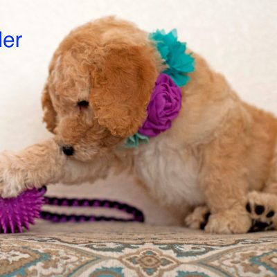 Tunder: Male [Poodle puppy] in Gilbert, Arizona for sale