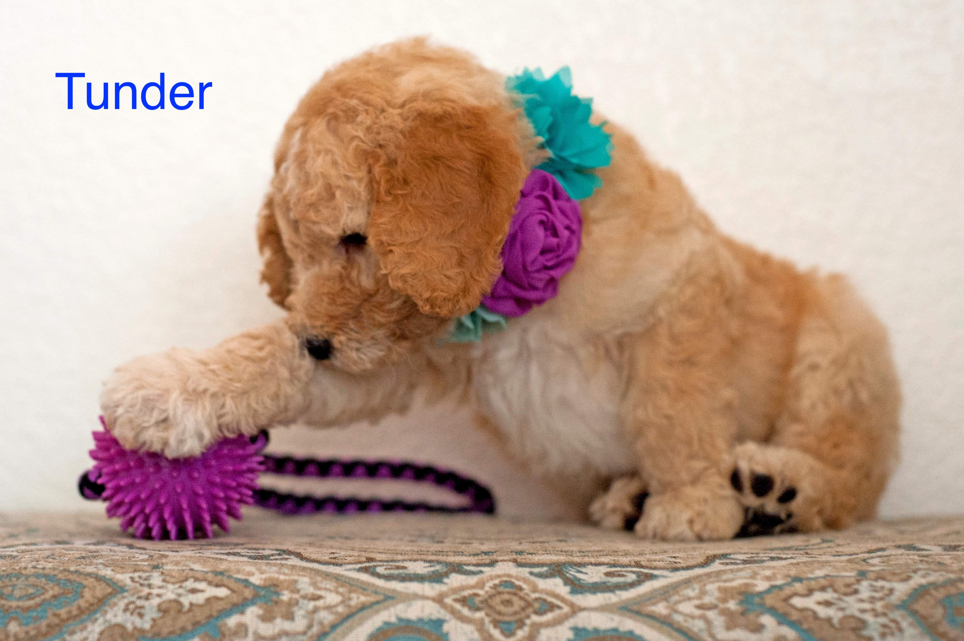 Tunder Male Poodle Puppy In Gilbert