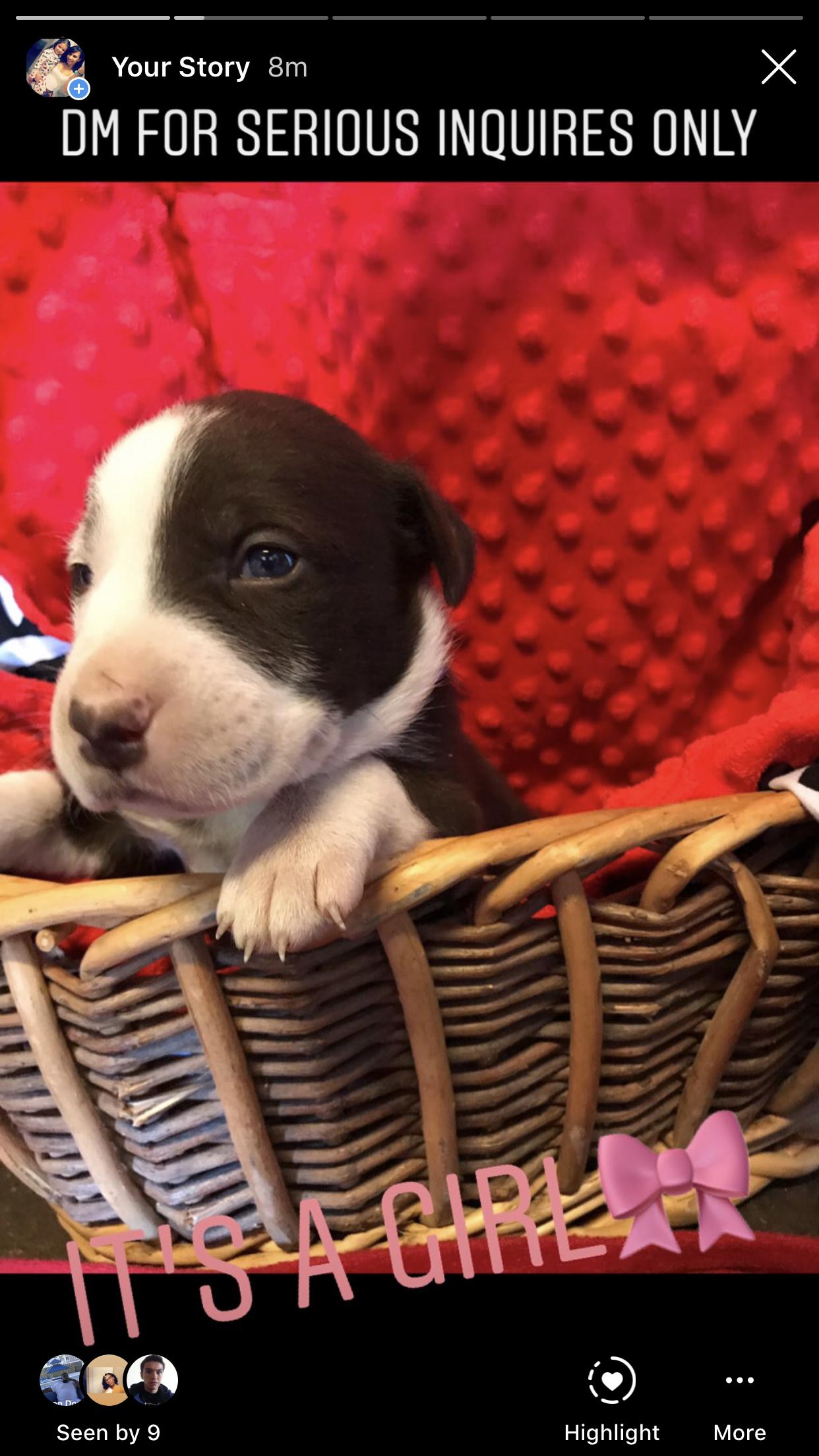 Brownie: Lab/PitBull Mix puppy in Elizabeth, New Jersey | VIP Puppies