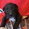 Brownie: Lab/PitBull Mix puppy in Elizabeth, New Jersey