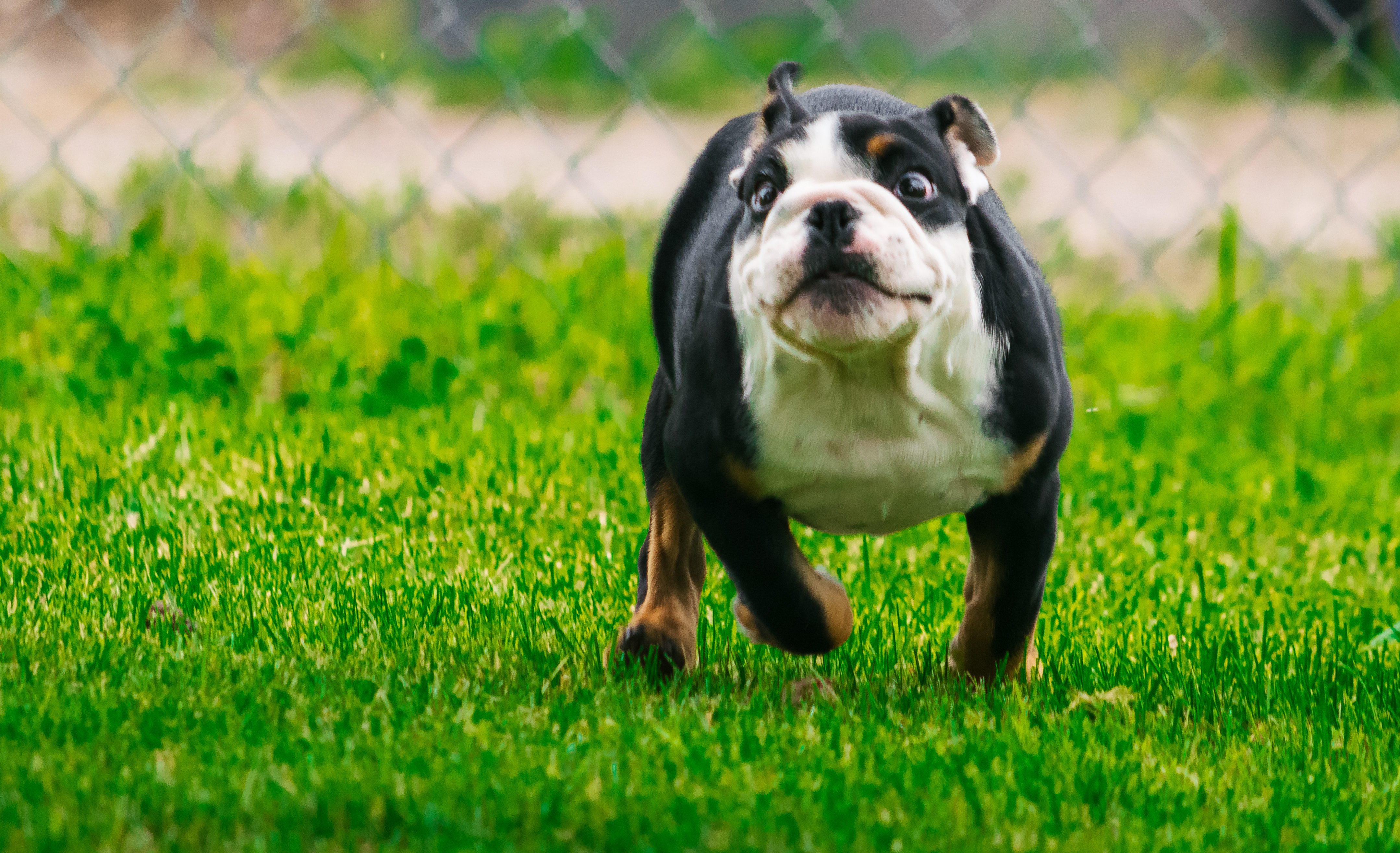 Haven – AKC English Bulldog puppy for sale in Great Falls, Montana | VIP  Puppies
