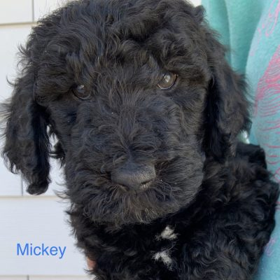 Mickey: male Goldendoodle puppy in Julesburg, Colorado