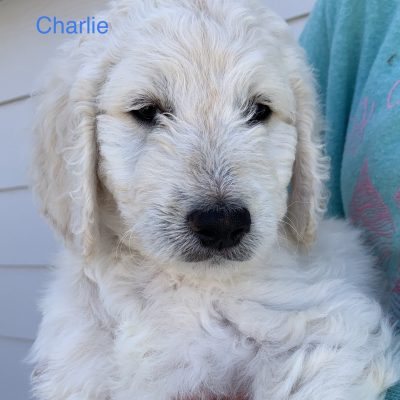 Charlie: male Goldendoodle puppy for sale in Colorado