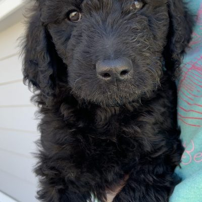 Lulu: female Goldendoodle puppy in Julesburg, Colorado