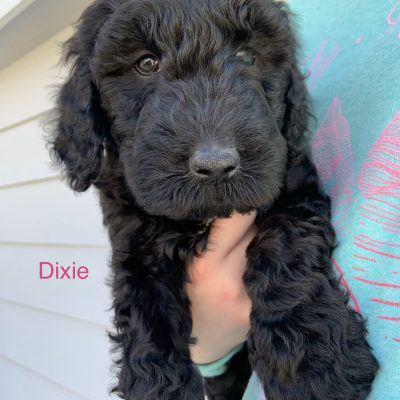 Dixie: female Goldendoodle puppy for sale in Colorado