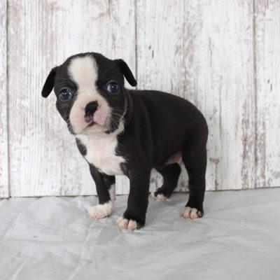 Brenda: AKC Female Boston Terrier puppy for sale in Shipshewana, Indiana