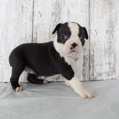Browny: girl AKC Boston Terrier puppy (Shipshewana, Indiana) for sale