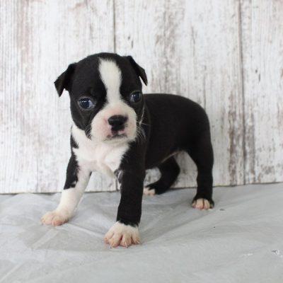 Brixy: Female AKC Boston Terrier puppy for sale (Shipshewana, Indiana)