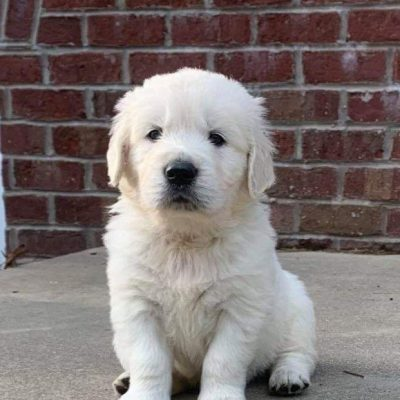 Caleb AKC Male English Cream Golden Retriever puppy [Loogootee, Indiana]