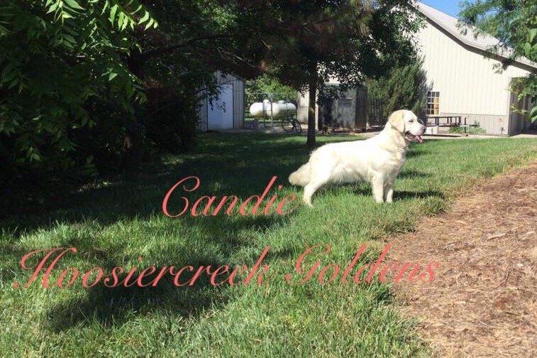 Caleb AKC Male English Cream Golden Retriever puppy [Loogootee, Indiana]