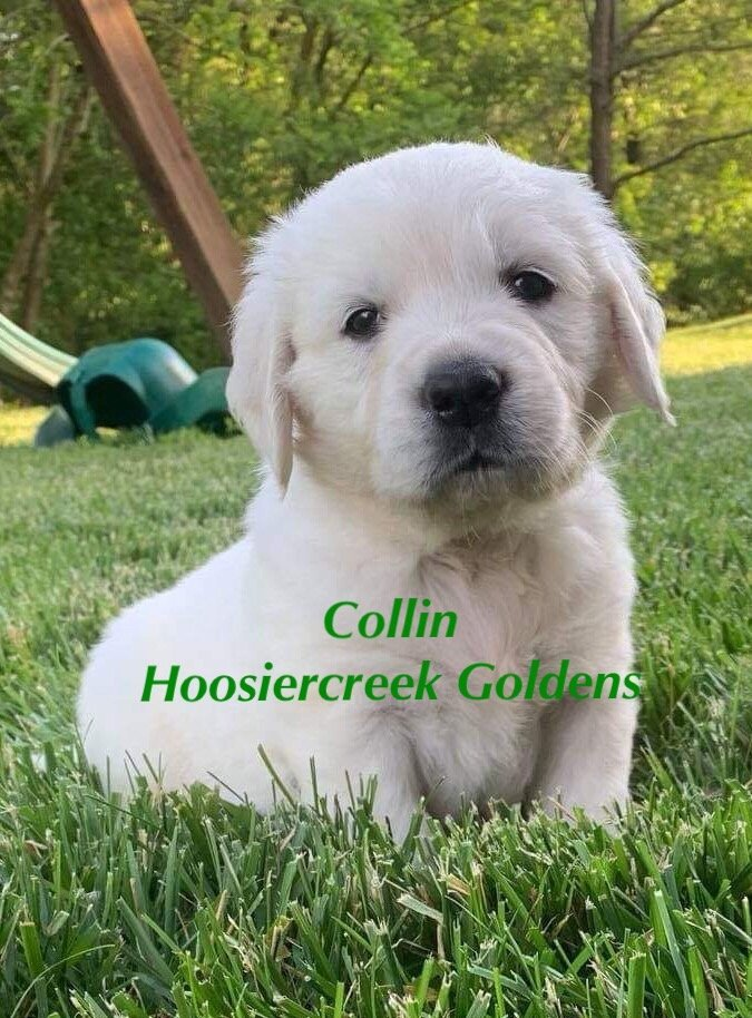 Candance: AKC Female Golden Retriever for sale [Loogootee, IN]