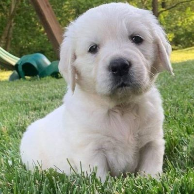 Collin AKC English Cream Golden Retriever puppy [Loogootee, Indiana]