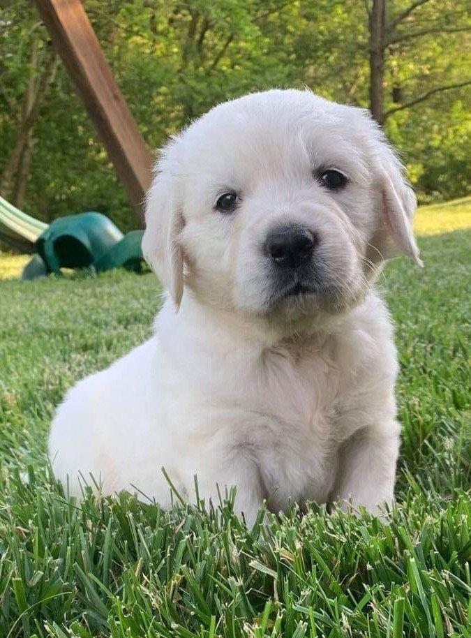Collin Akc English Cream Golden Retriever Puppy Loogootee Indiana