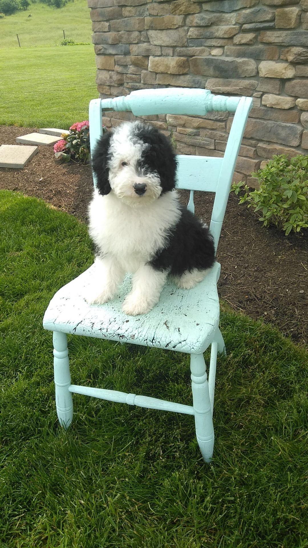 Finn!! Male Mini Sheepadoodle for sale in Sugarcreek, Ohio