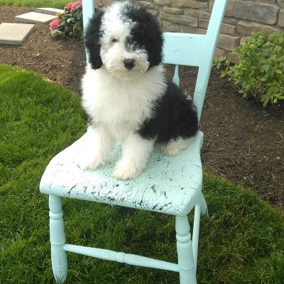 SOLD Finn!! Male Mini Sheepadoodle for sale in Sugarcreek, Ohio