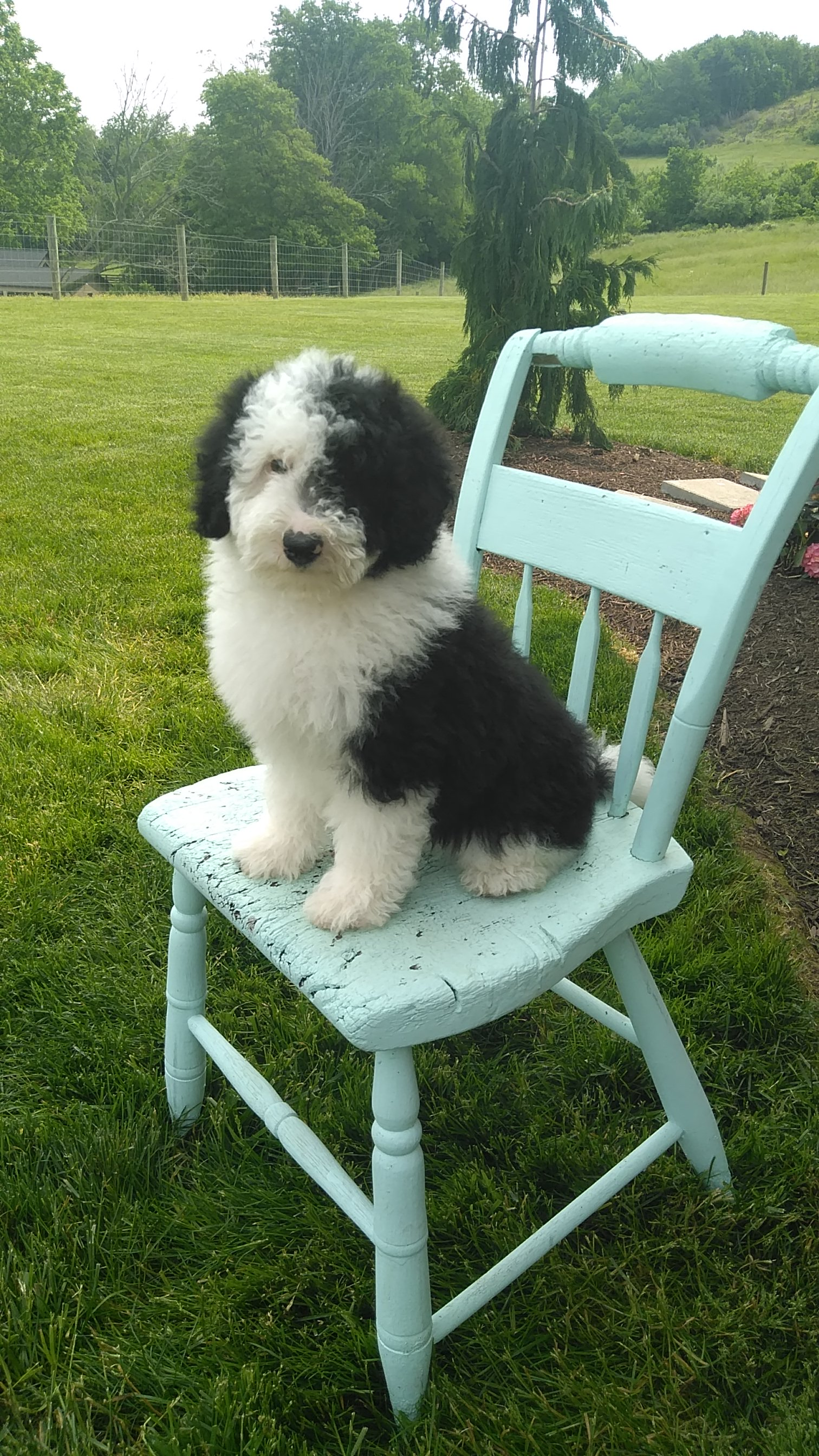 Sold Finn Male Mini Sheepadoodle For Sale In Sugarcreek Ohio Vip Puppies
