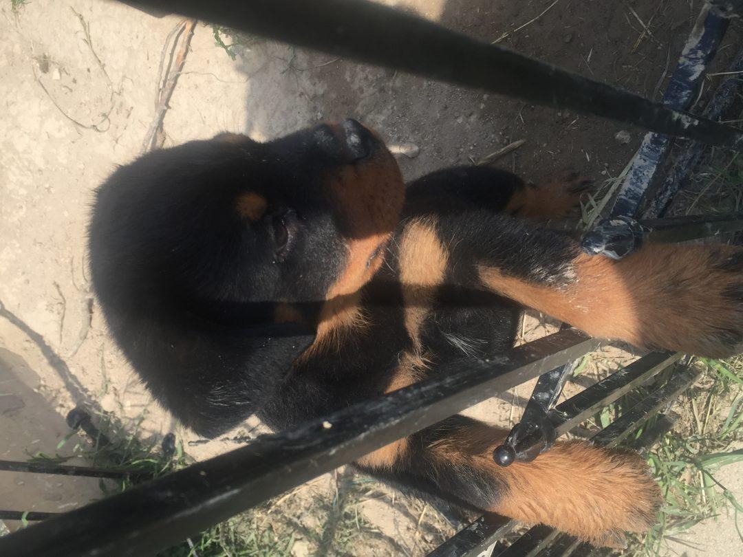 BJ: Male Rottweiler puppy for sale in McKinney, Texas