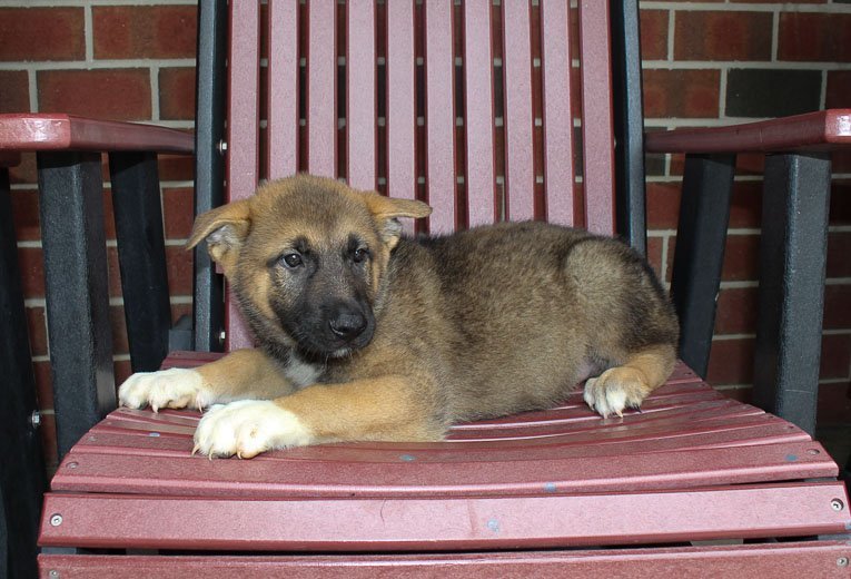 George: male Akita Shepherd puppy for sale [Indiana]