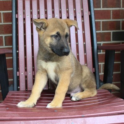Sammy: male Akita Shepherd pupper for sale [New Haven, IN]
