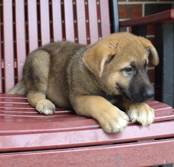 Robby: male [Akita Shepherd] puppy in New Haven, Indiana (Shepkita)
