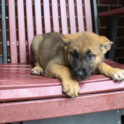 Laney: female Akita Shepherd pupper for sale [New Haven, IN]
