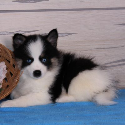Decew: Beautiful Pomsky puppy for sale in Nappanee, IN