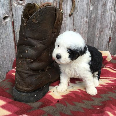 Briley: Sheepadoodle puppy in Lamoni, Iowa
