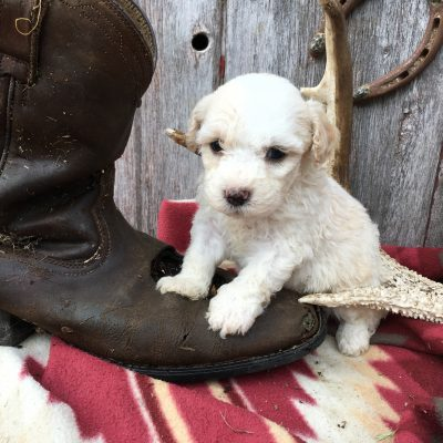 Benson: Male Sheepadoodle for sale in Lamoni, Iowa