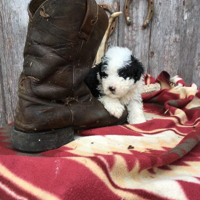 Barkley: Sheepadoodle for sale (Lamoni, Iowa)