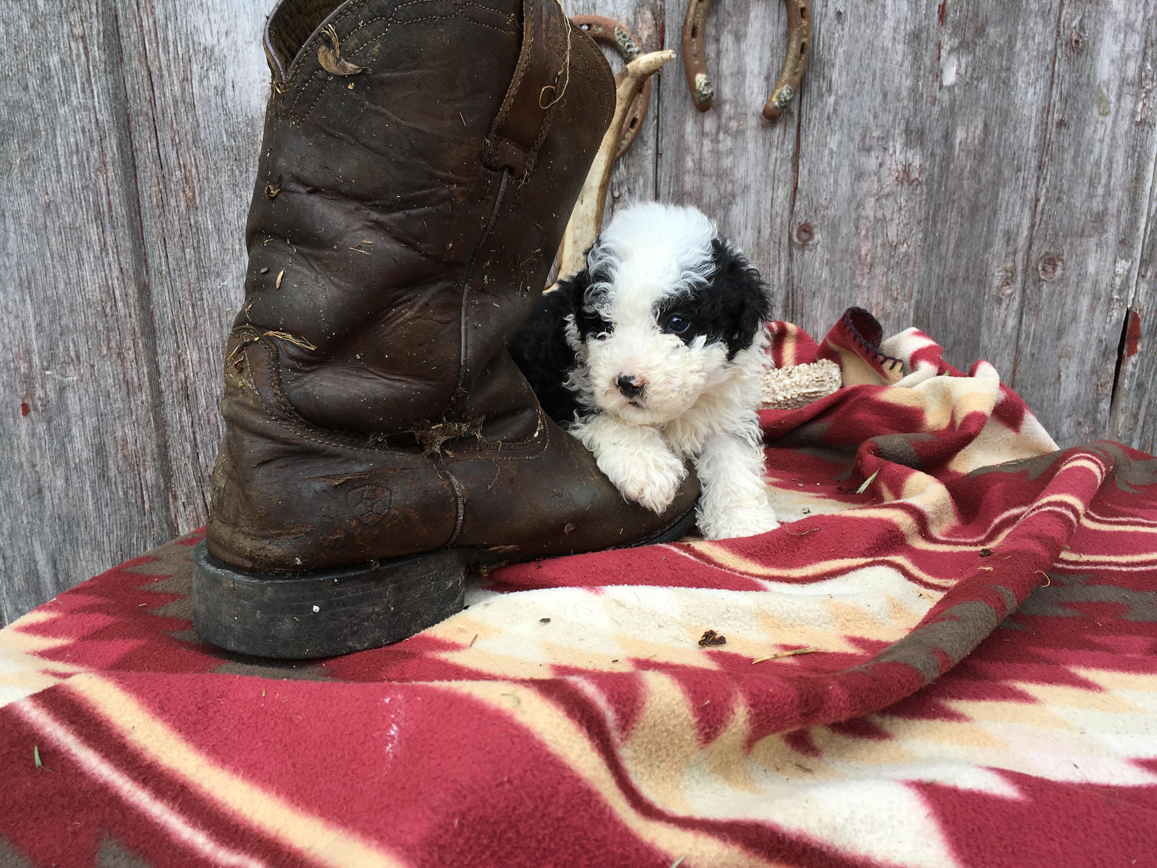 Barkley: Sheepadoodle for sale (Lamoni, Iowa)