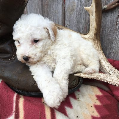 Bently: Male Sheepadoodle puppy for sale [Lamoni, Iowa]