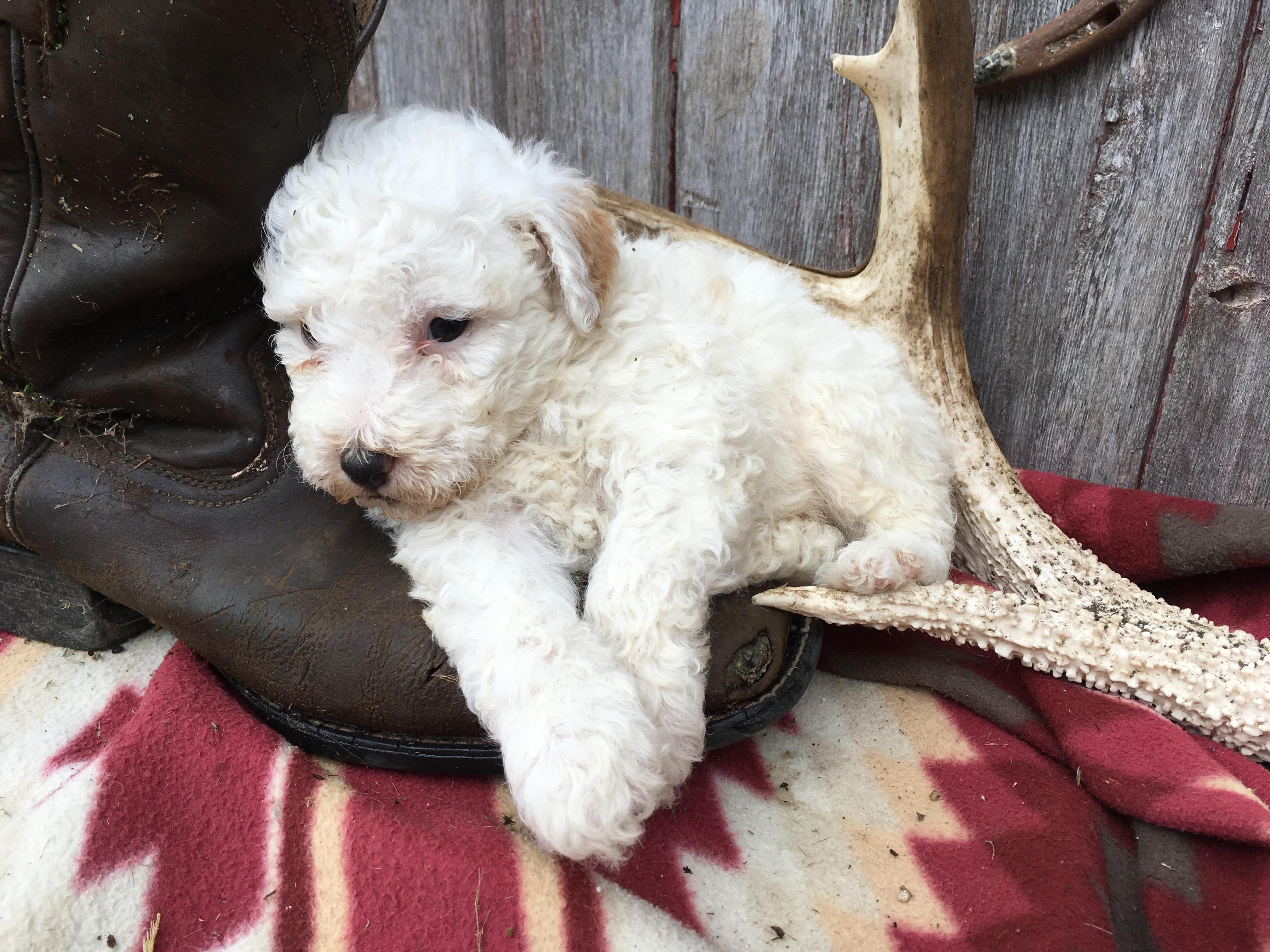 Bently: Male Sheepadoodle puppy for sale [Lamoni, Iowa]