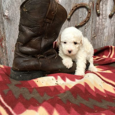 Bree: Female Sheepadoodle puppy for sale in Lamoni, IA