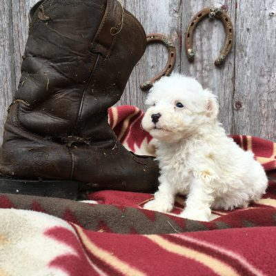 Brittney: Sheepadoodle puppy for sale [Lamoni, Iowa]