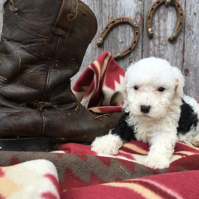 Barbie: Sheepadoodle puppy for sale in Lamoni, Iowa